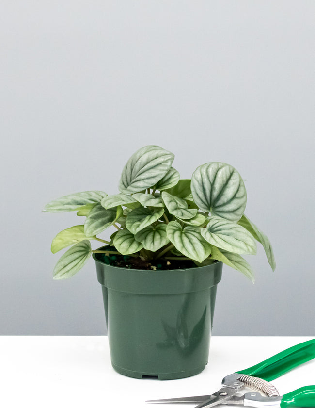 Peperomia Frost - Plant Proper
