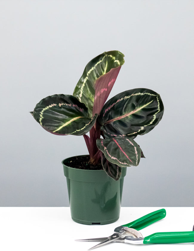 "4"" Calathea Illustris - Prayer Plant - Plant Proper"