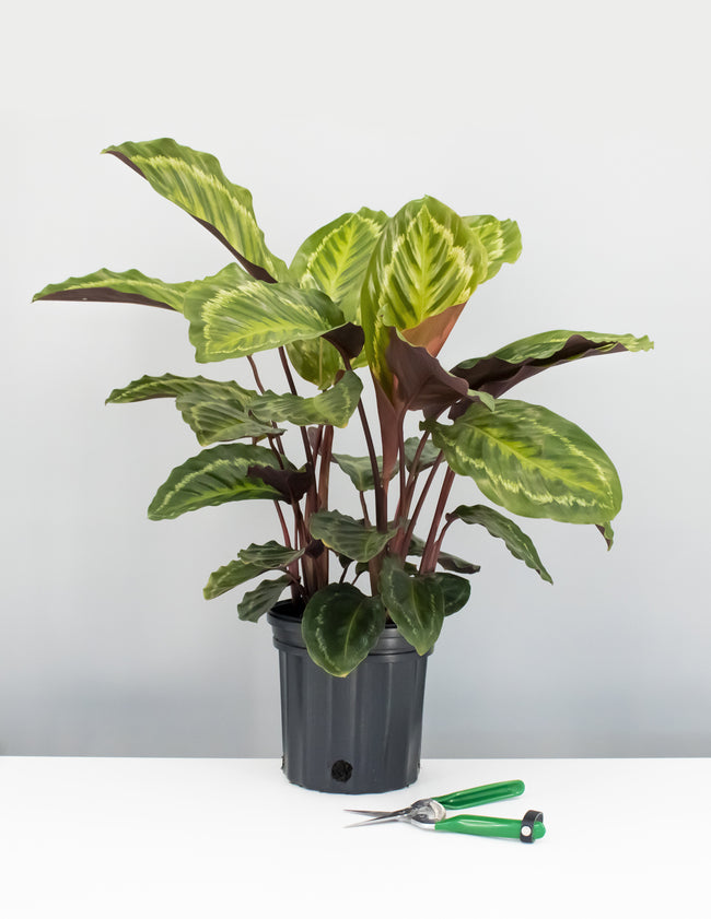 Calathea Jungle Cat  - Prayer Plant - Plant Proper
