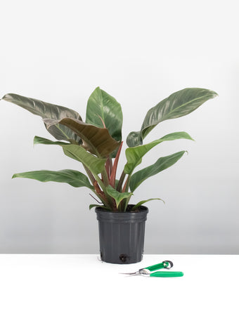 Philodendron Imperial Red - House Plant - Plant Proper