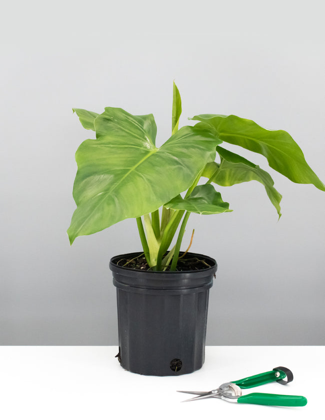 Philodendron Giganteum - House Plant - Indoor Plant - Plant Proper
