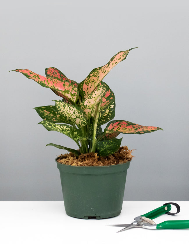 "6"" Aglaonema Wishes - Chinese Evergreen - Plant Proper"