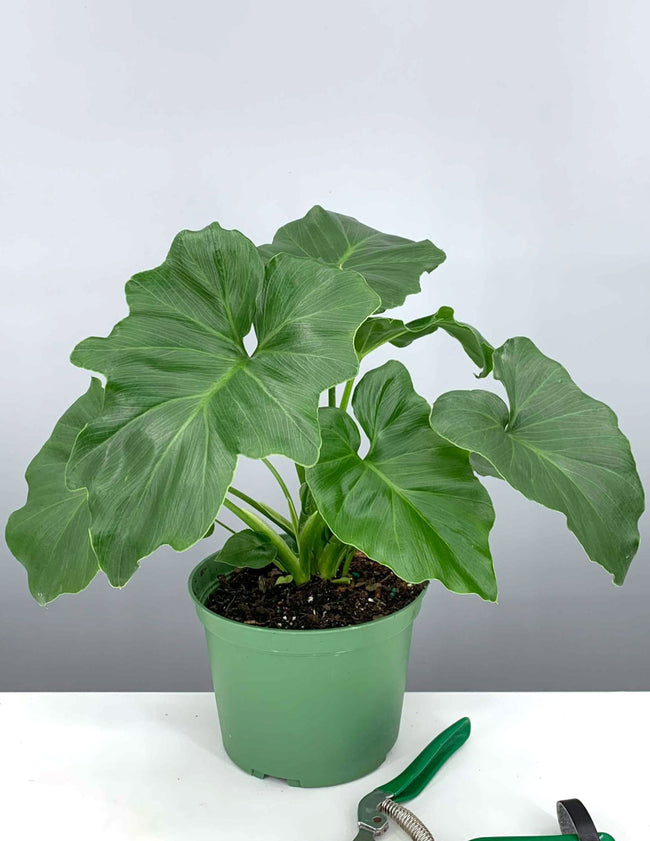 Philodendron Hope - Plant Proper
