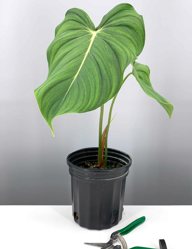 Philodendron McDowell - Plant Proper