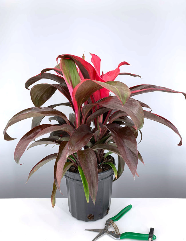 Cordyline Ruby Red - Plant Proper