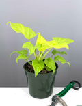 "4"" Philodendron Xanadu Neon - Philodendron Winterbourn - Plant Proper"