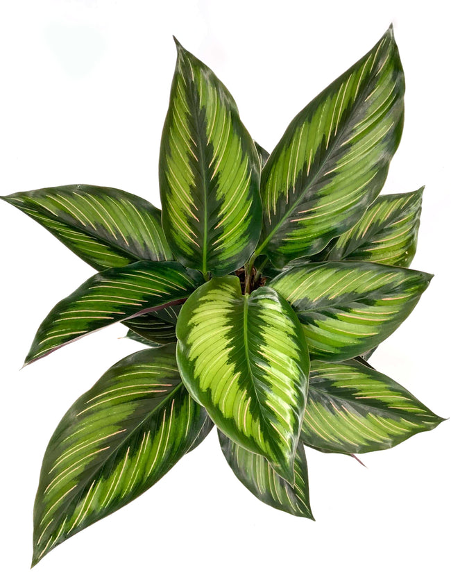Calathea Beauty Star - Peacock Plant Overview - Plant Proper