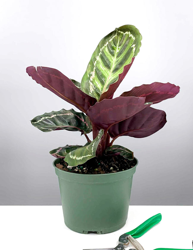 "6"" Calathea Illustris - Prayer Plant - Plant Proper"