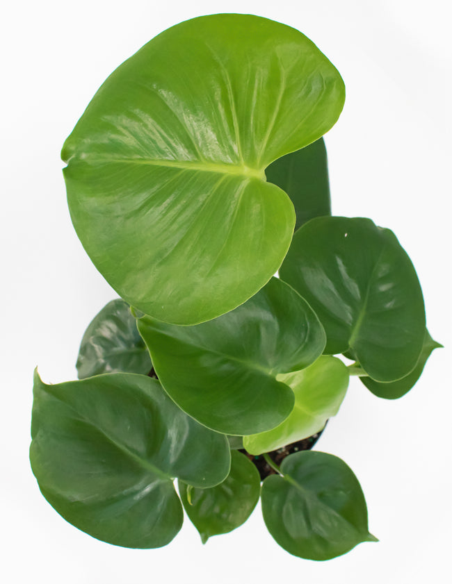 Monstera Deliciosa - Swiss Cheese Plant - Plant Proper