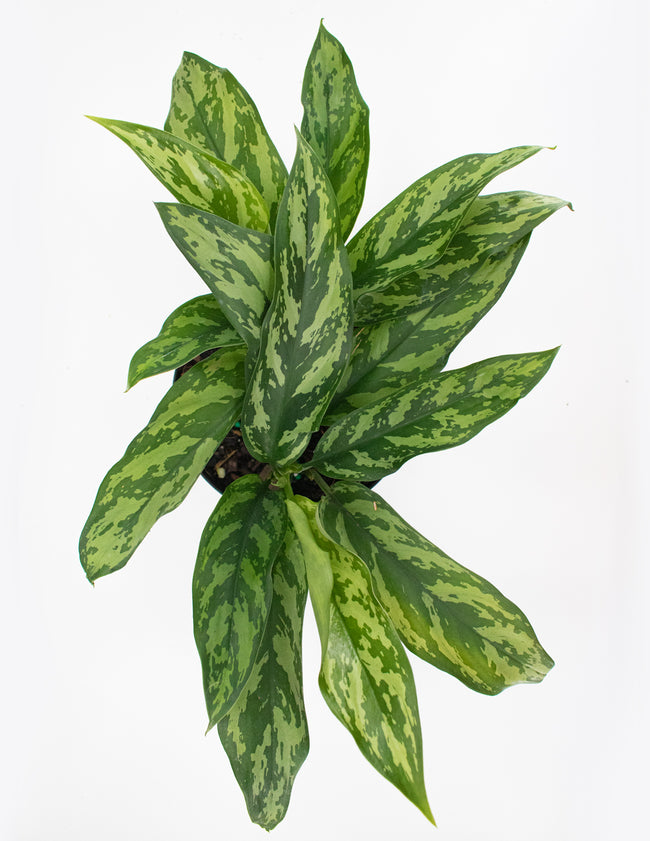 Aglaonema Mary Ann Overview  - House Plant - Plant Proper