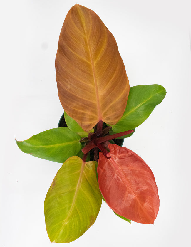 Philodendron McColley's Finale - House Plant  Overview - Plant Proper
