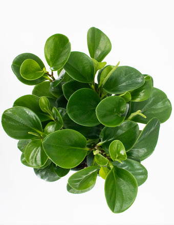 Peperomia Emerald Green - House Plant  Overview - Plant Proper
