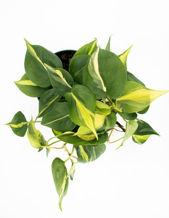 Philodendron Brasil - House Plant - Indoor Plant  Overview - Plant Proper
