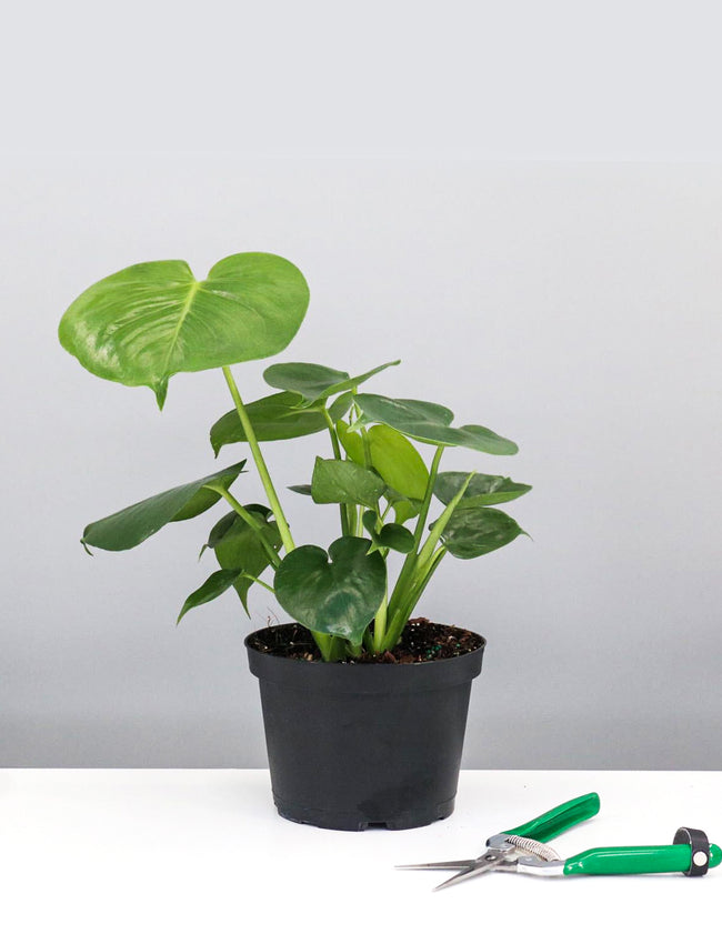 "6"" Monstera Deliciosa - Swiss Cheese Plant - Plant Proper"