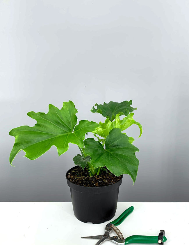 Philodendron Lickety Split