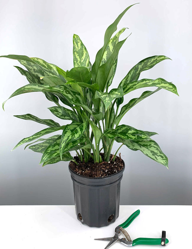 Aglaonema Mary Ann
