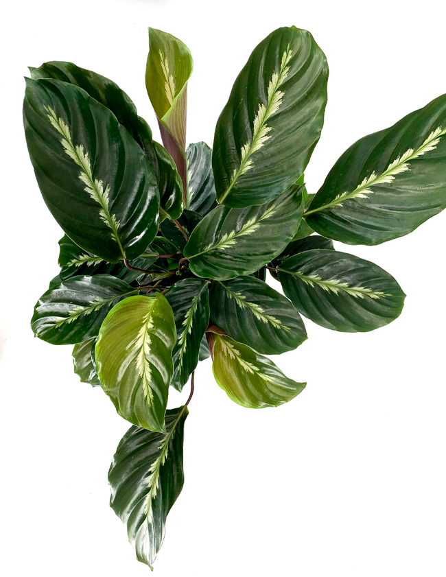 Calathea Maui Queen Overview - Prayer Plant - Plant Proper