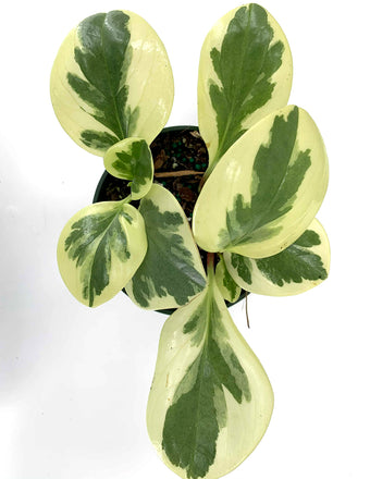 Variegated Peperomia Overview - Plant Proper