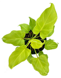 Philodendron Xanadu Neon - Philodendron Winterbourn - Plant Proper
