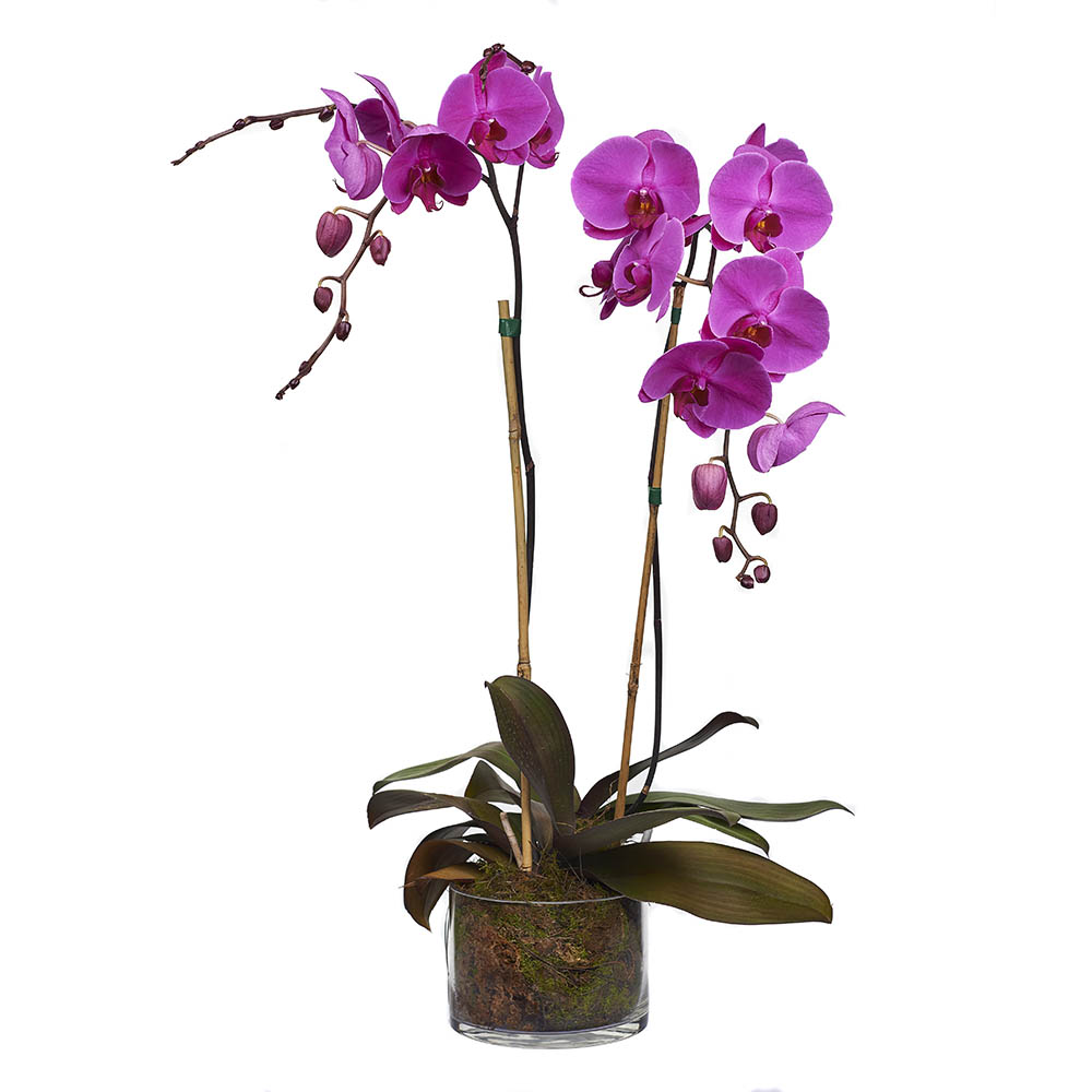 Purple orchid in vase