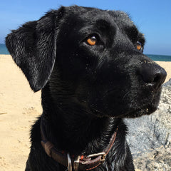 Head shot of HiLife dog - a black labrador on the beach