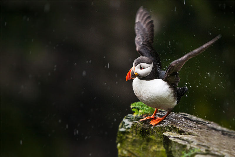 Puffin, Skellig Michael, Co. Kerry