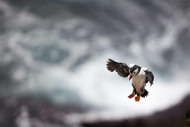 Puffin Landing, Skellig Michael, Co. Kerry