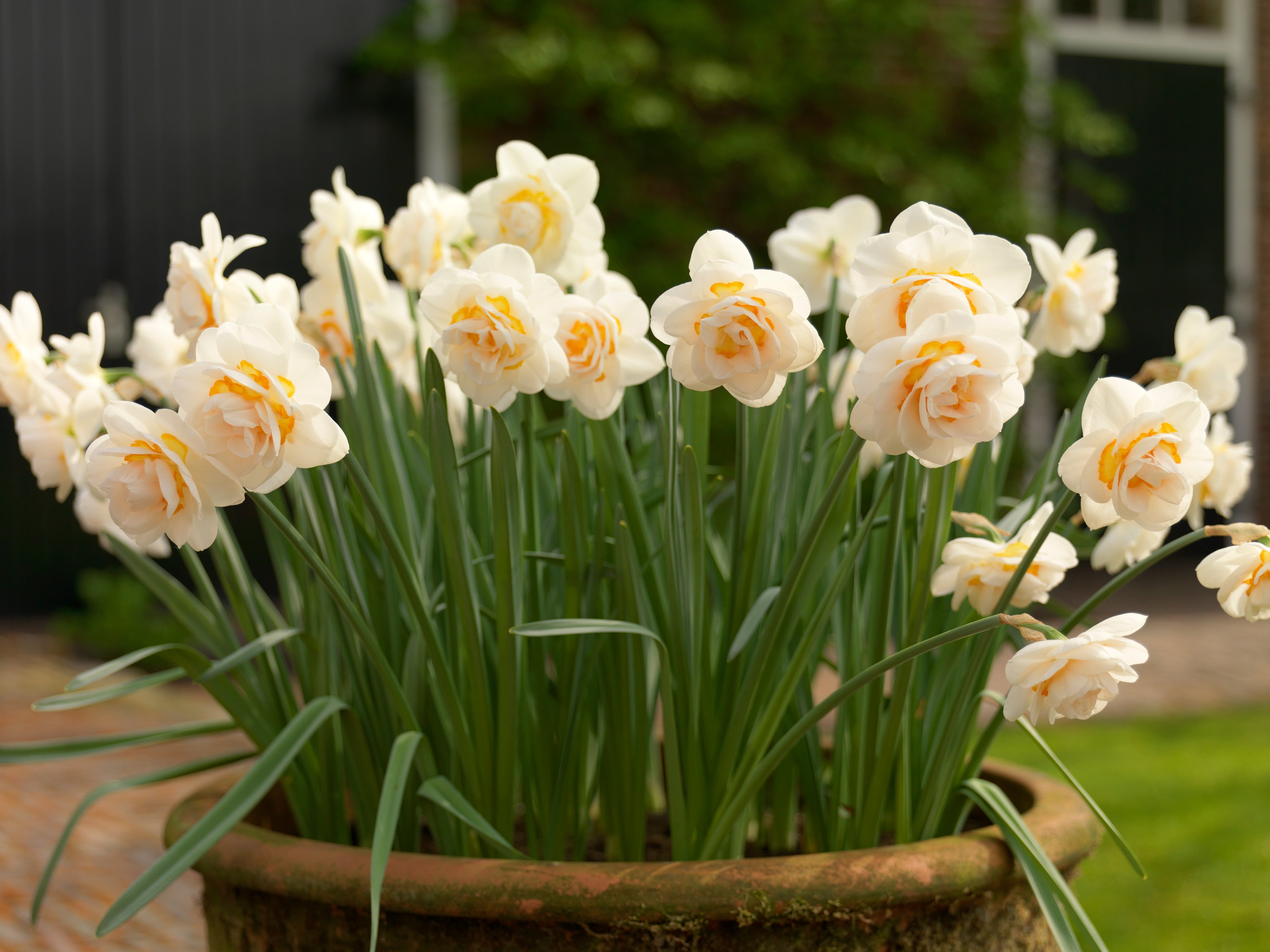 Growing Guides: How to Grow Daffodil and Narcissus Bulbs