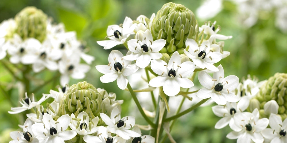 Growing Guides: How to Grow Ornithogalum (Starflower)