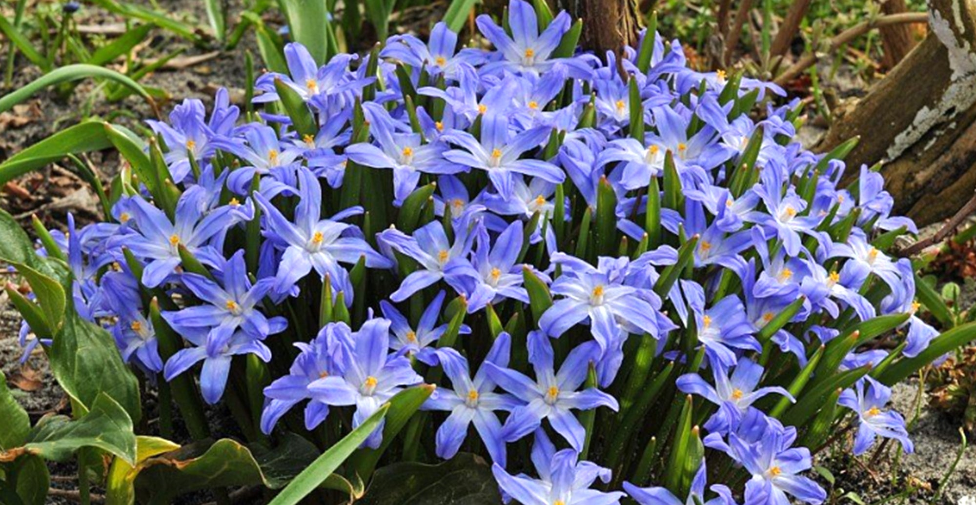 Growing Guides: How to grow Chionodoxa