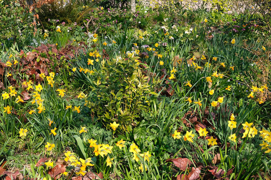 How to use Flower Bulbs in your garden
