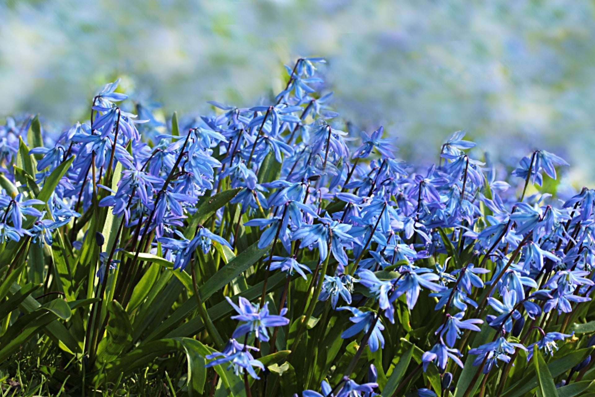 Growing Guides: How to Grow Scilla (Siberian Squill) bulbs