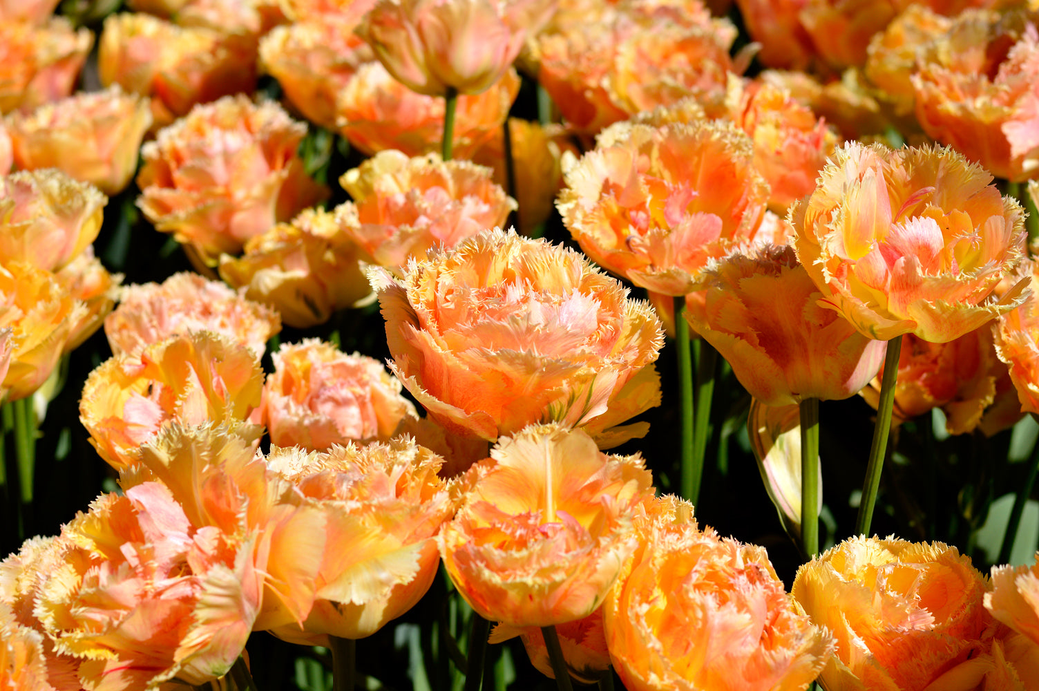 A simple guide to growing beautiful tulips from bulbs