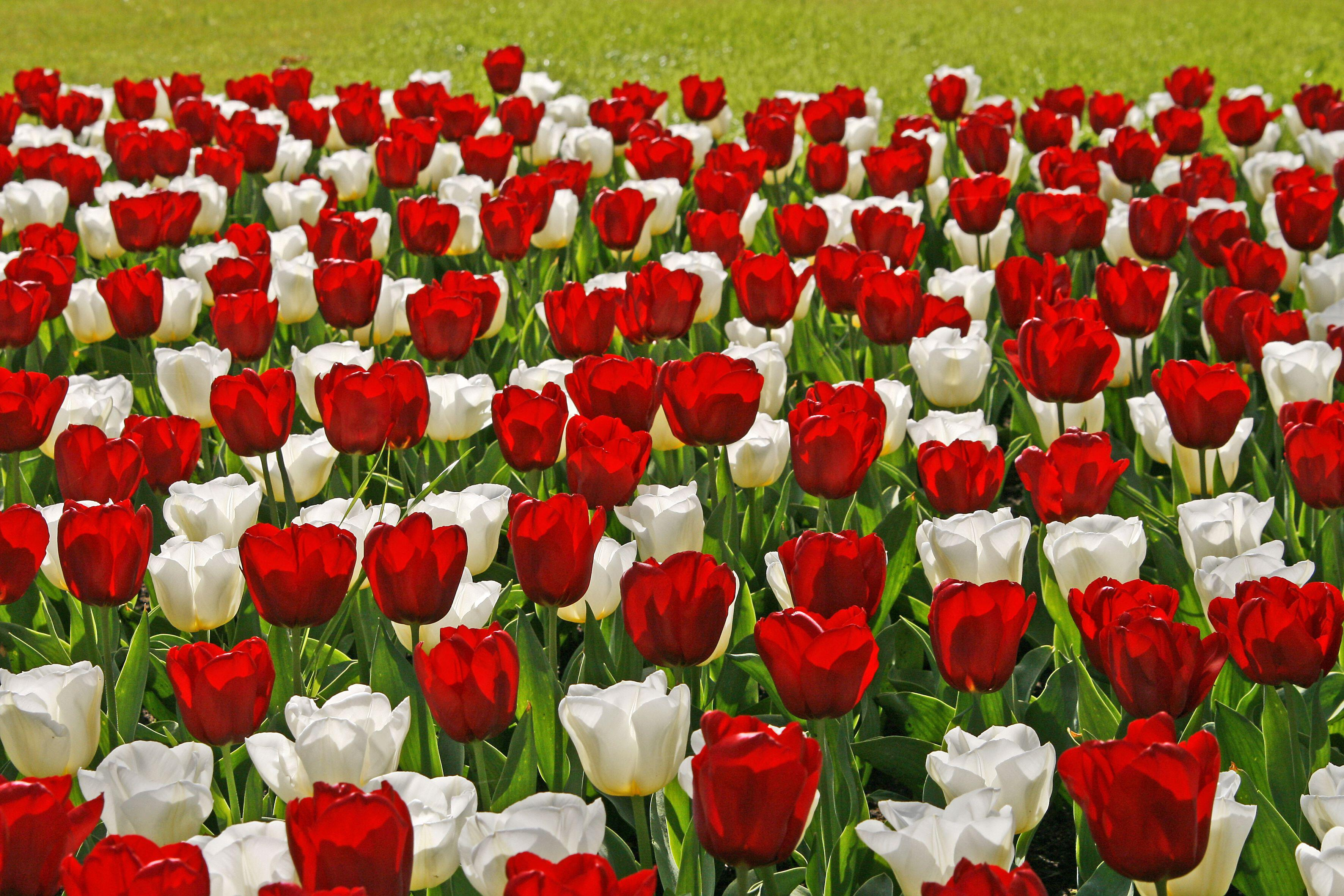 Using and Choosing Tulips in Gardens