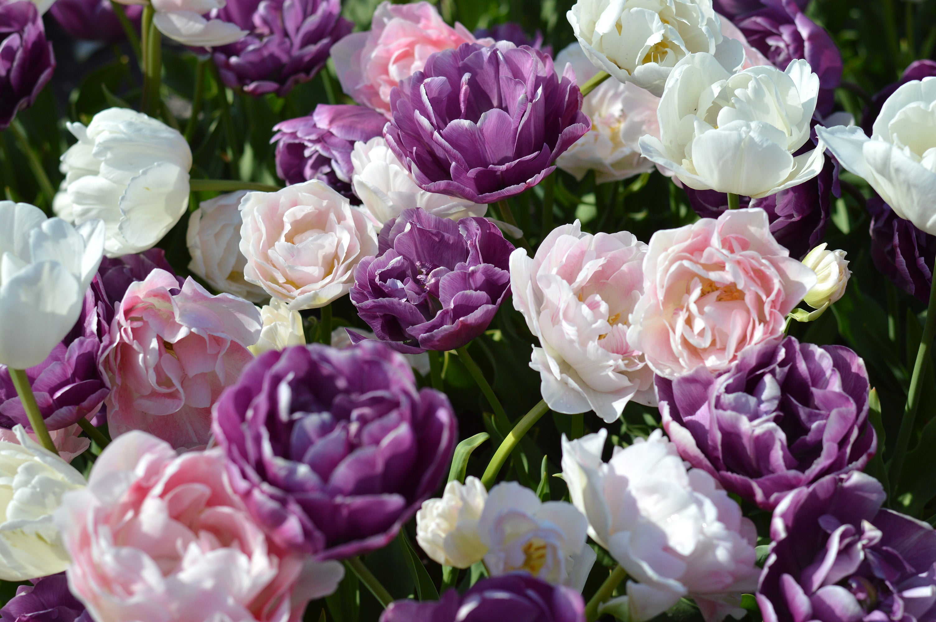 Tulip Wedding Gift Collection - THE BEST PLACE TO BUY TULIP BULBS