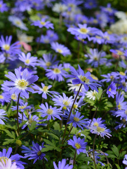 blue anemones blanda Windflowers