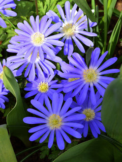 blue anemone blanda - great naturalizer