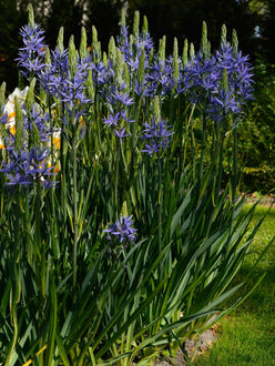 Indian Hyacinth Bulbs - Blue Camassia Esculenta