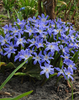 Chionodoxa Lucilea (Glory of the Snow) - Early Blooming Blue Naturalizing Flowers