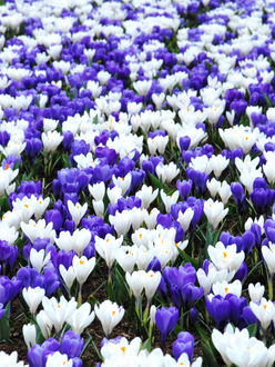 Mixed blue and white crocus bulbs