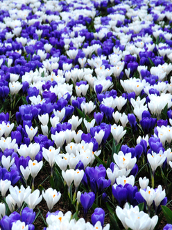 Blue and white crocus mix