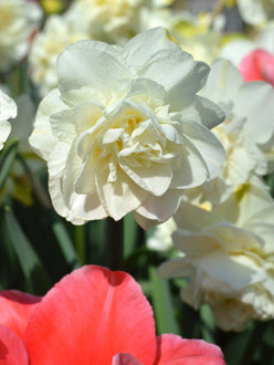 Doubel White Daffodil White Explosion UK