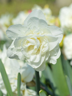Daffodil Bulbs for UK delivery -  White Explosion