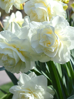 Daffodil White Explosion Narcissus Double White UK