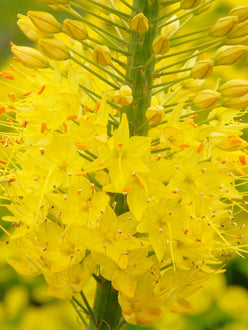 Yellow foxtail lily bulbs