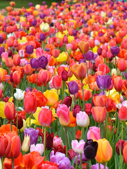 Eternal Spring Tulip Mix - Buy Tulip Bulbs