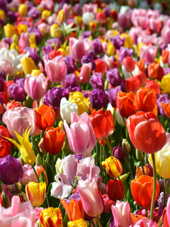Eternal Spring Tulip Mix, more than 100 different tulip bulbs