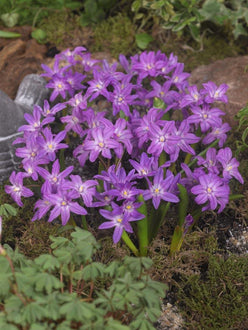 Chionodoxa Lucilea Violet Beauty (Glory of the Snow)
