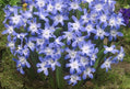 Chionodoxa (Glory of the Snow)