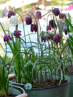 Fritillaria Meleagris Bulbs